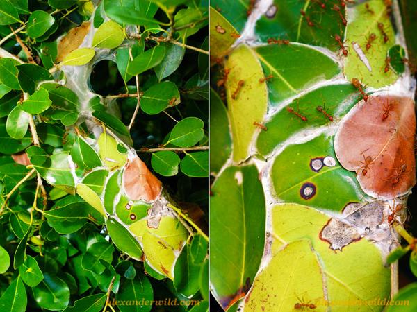 Collage de deux photos montrant un nid construit à partir de feuilles vivantes par des fourmis tisserandes, Oecophylla longinoda.