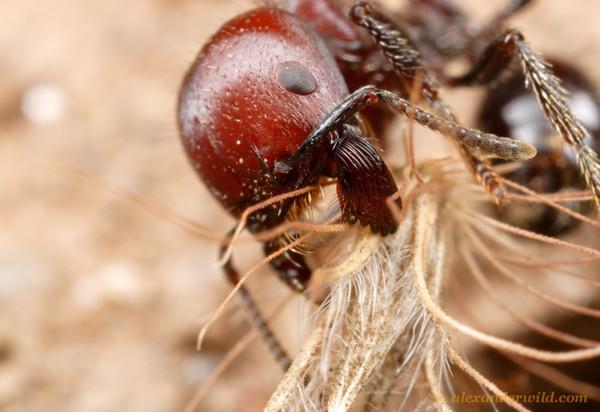 Plan détaillé d'une fourmi Pogonomyrmex micanstransportant une graine.