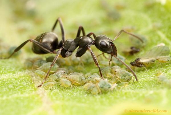 Une fourmi Formica subsericea surveille un groupe d'aphides sur une feuille d'asclépiade.