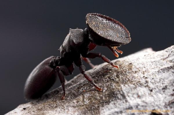 Une fourmi-tortue guerrière: Cephalotes varians.