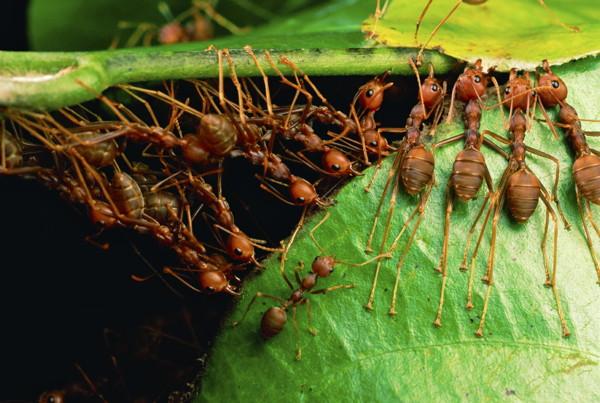 Des fourmis Oecophylla smaragdina utilisent leur corps pour rapprocher les feuilles d'un arbre.