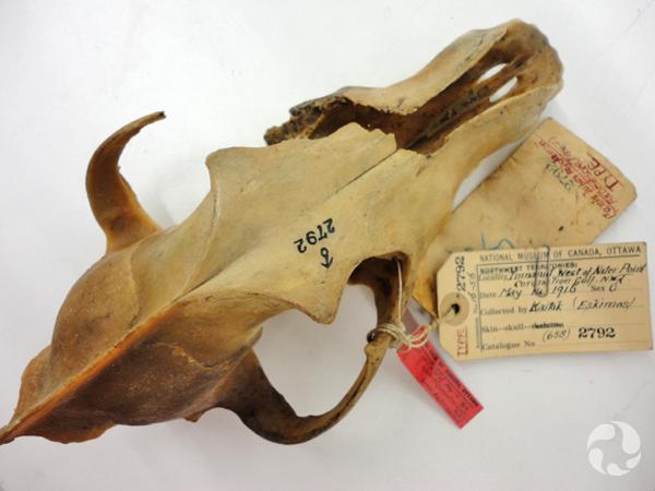Un crâne de Canis lupus mackenzii auquel sont attachées des étiquettes de collection.