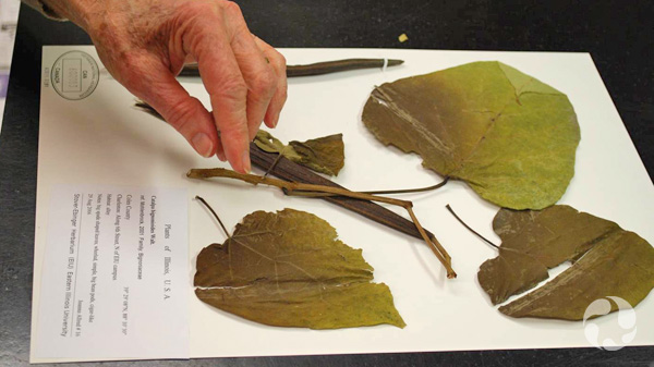 Une main ajuste la tige d'un spécimen de catalpa du sud (Catalpa bignonioides; CAN600083) sur une planche d'herbier.