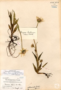 Une planche d'herbier d'arnica à feuilles étroites (Arnica angustifolia ssp. angustifolia; CAN109076).