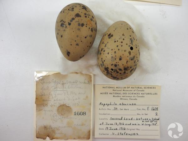 Deux oeufs de mouette blanche, Pagophila eburnea, sur une table à côté d'une note manuscrite et d'une étiquette de collection.