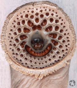La bouche d'une lamproie marine (Petromyzon marinus).