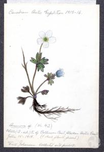 Fritz Johansen, biologiste et membre de l'équipe sud, a esquissé ce  croquis d'une plante collectée à Collinson Point, en Alaska, à l'été 1914. Catalogue : CMNAC HL2-59-3. Image : Kamal Khidas © Musée canadien de la nature