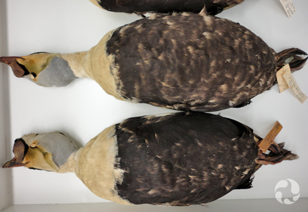 Deux spécimens d'eiders à tête grise, Somateria spectabilis, dans un tiroir.
