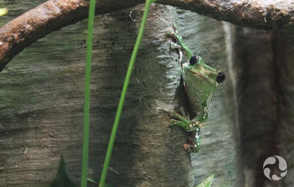 Une grenouille arboricole de Dennys tachetée, Rhacophorus dennysi, dans son nouvel habitat au Musée. Image : Charlotte Field © Musée canadien de la nature