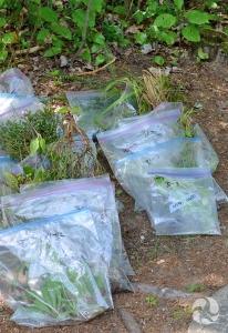 Des spécimens de plantes dans des sacs de plastique transparent sur le sol.