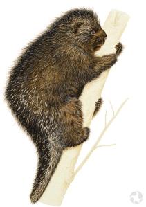 Une peinture d'un porc-épic d'Amérique (Erethizon dorsatum) accroché à un tronc d'arbre.