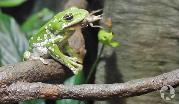 Une grenouille arboricole de Dennys tachetée, Rhacophorus dennysi, assise sur une branche dans un terrarium, dévore un grillon.