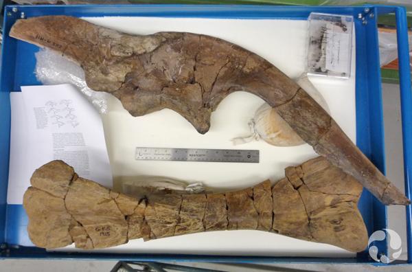 Un os ilium et un tibia d'hadrosaure, reconstitués et collés, dans un tiroir en métal. Une règle est disposée près des os, donnant une idée de leur taille.