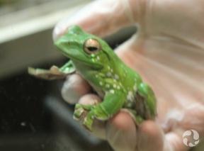 Une grenouille arboricole de Dennys tachetée, Rhacophorus dennysi, repose assise dans la main gantée d'une femme.