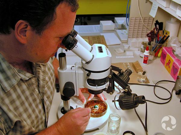 Un homme regarde au microscope le contenu d'une boîte de Petri contenant un grand nombre d'insectes.