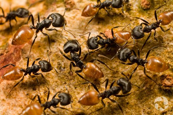 Des fourmis ouvrières du genre Crematogaster marchant en tous sens.