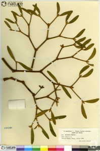 Une feuille d'herbier de gui (accession #CAN12950).