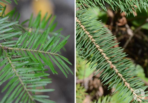Collage : Branches de sapin baumier et d'épinette blanche.