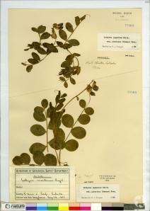Un spécimen séché de gesse maritime, Lathyrus japonicus, sur une page d'herbier.