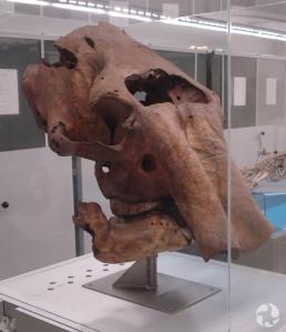 Un crâne de mammouth laineux, Mammuthus primigenius.