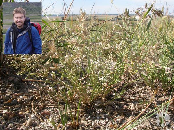 Collage : des graminées du genre Eragrostis dans un champ et, en médaillon, le chercheur Jeff Saarela.