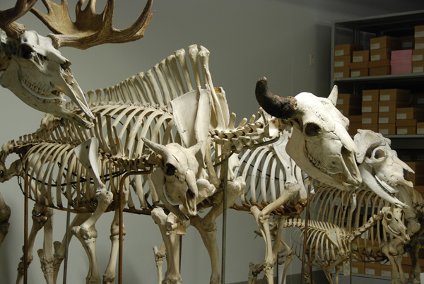 Des squelettes de mammifères assemblés et disposés en rangée.