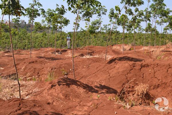 Vue de mines abandonnées à Phum Throm où on aperçoit maintenant des arbres à caoutchouc.