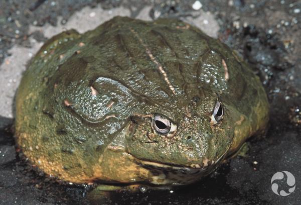 Une grenouille fouisseuse, Pyxicephalus adspersus, dans un terrarium.