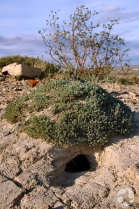 Un buisson d'armoise de Californie appartenant à l'espèce Artemisia douglasiana.