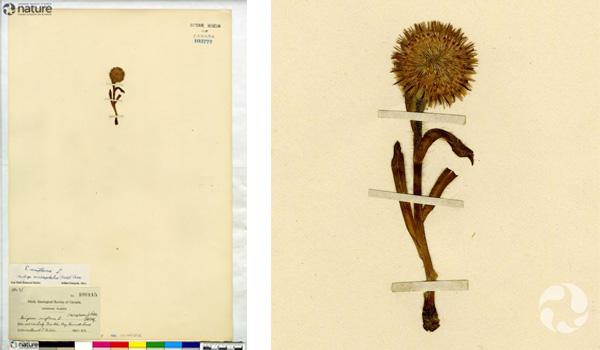 Collage : spécimen de Erigeron uniflorus, vergerette à capitule laineux, collé sur une page d'herbier (à gauche). À droite, détail de la plante.