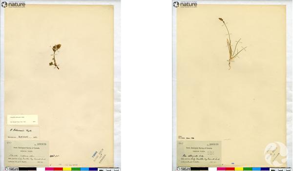 Collage de deux spécimens botaniques sur des pages d'herbier : Potentilla rubricaulis (à gauche) et Poa abbreviata ou Pâturin court (à droite).