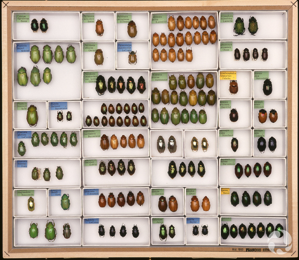 Des spécimens de coléoptères dans des plateaux de collections.
