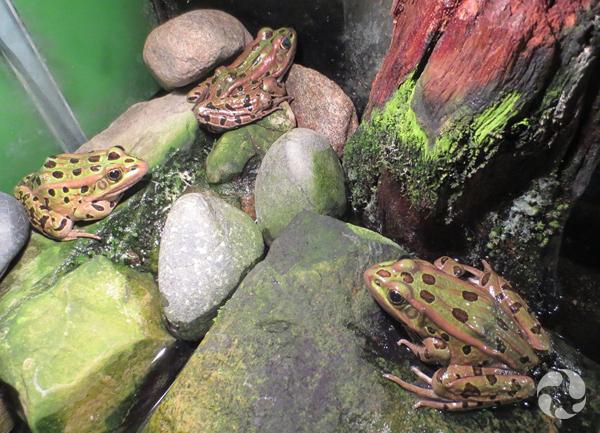 Des grenouilles léopards, Rana pipiens, dans un terrarium.