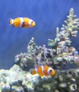Deux poissons clowns dans un aquarium.