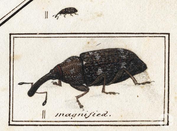 Plan détaillé d'une illustration en noir et blanc d'un charançon du sapin, Pissodes striatulus.