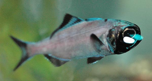 Un poisson « lampe de poche », Anomalops katoptron, dans un aquarium.