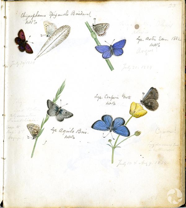 Illustrations en couleurs de plusieurs papillons azurés appartenant à la famille des lycénidés.