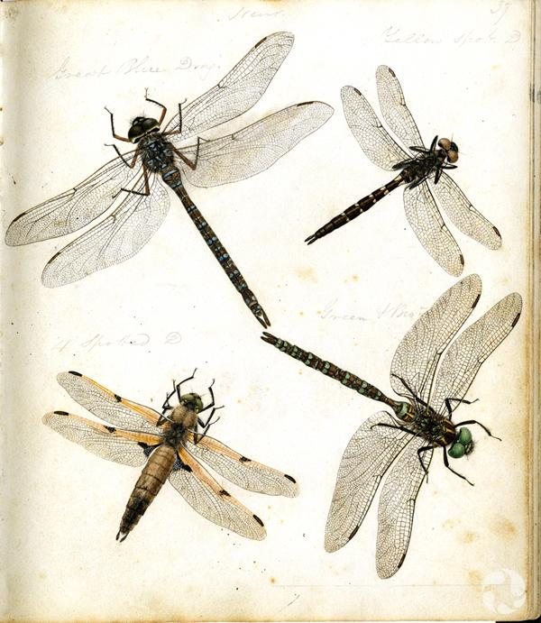 Illustrations en couleurs de différentes espèces de libellules.