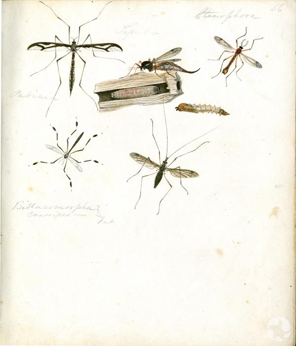 Plusieurs illustrations de mouches sur une page de manuscrit.