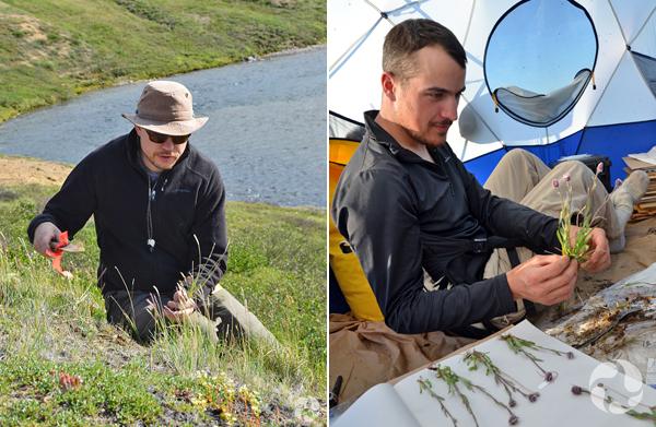 Collage : un homme collecte des plantes sur le terrain en Arctique; un homme presse des plantes pour les faire sécher, dans une tente.