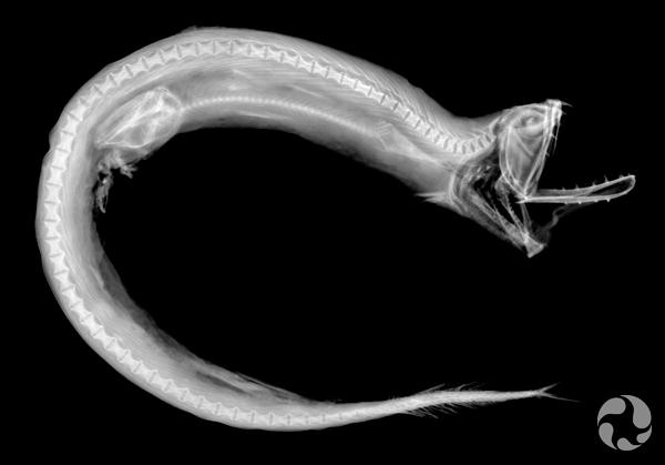 Radiographie d'une dragon-boa, Stomias boa.
