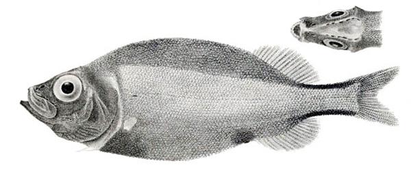 Illustration scientifique d'un épaule-criblée long nez, Platytroctes apus.