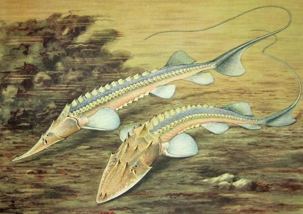 Illustration de deux esturgeons.