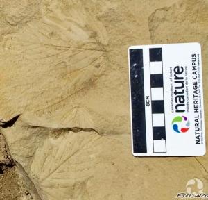 Prise de vue rapprochée de feuilles fossilisées dans une roche.