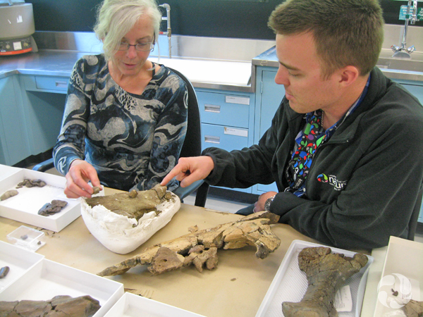 Jordan Mallon et Margaret Currie examinent des fossiles de dinosaures sur une table aux installations de recherche du musée.