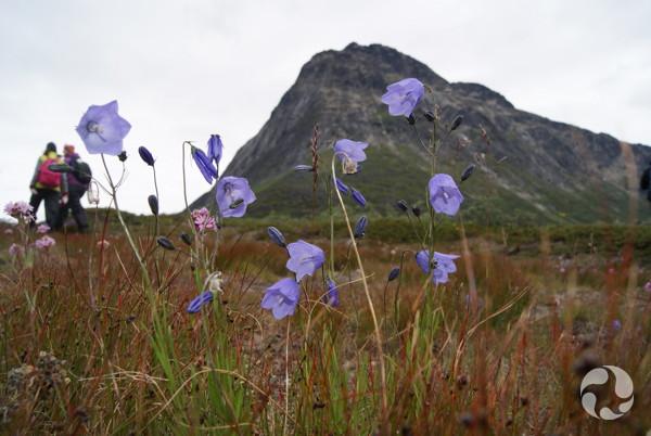 La recherche d inspiration en arctique le blogue du mus e canadien de la nature - Campanule a feuilles rondes ...