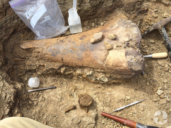 Gros plan d'un fossile de dinosaure affleurant le sol.