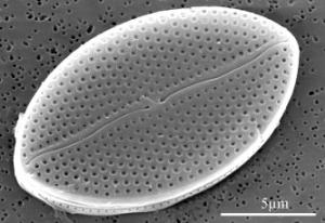 Une valve de la diatomée Mastogloia stellae vue au microscope électronique.
