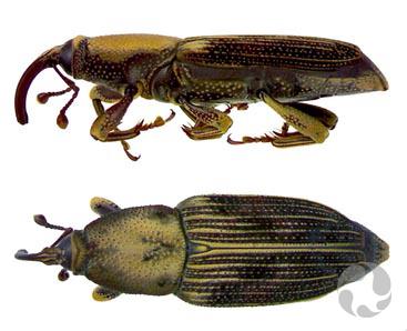 Deux illustrations montrant le charançon Metamasius planatus vu du dessus et de côté.