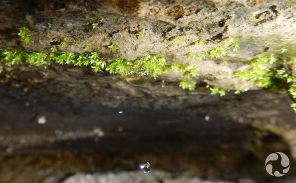 Gros plan du bryum de Porsild sous un surplomb.